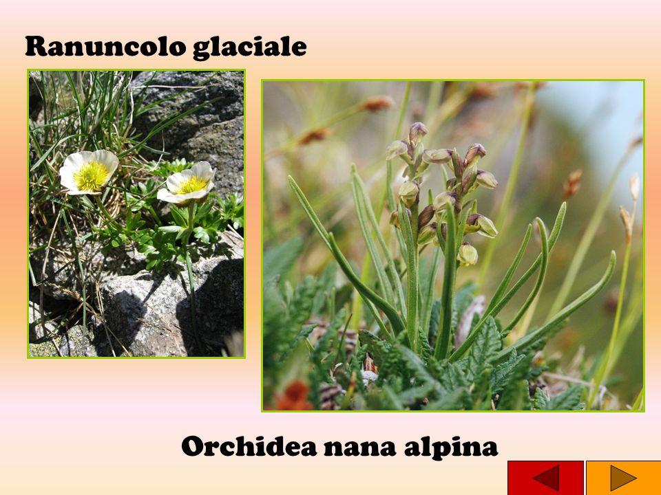 Ranuncolo glaciale Orchidea nana alpina