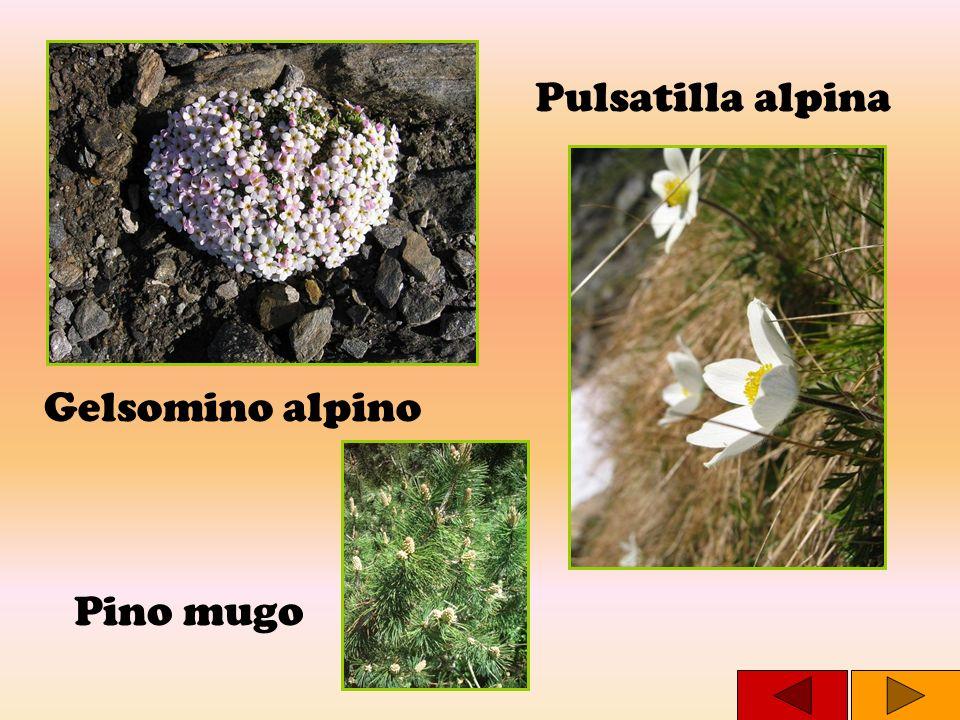 Pulsatilla alpina Gelsomino alpino Pino mugo