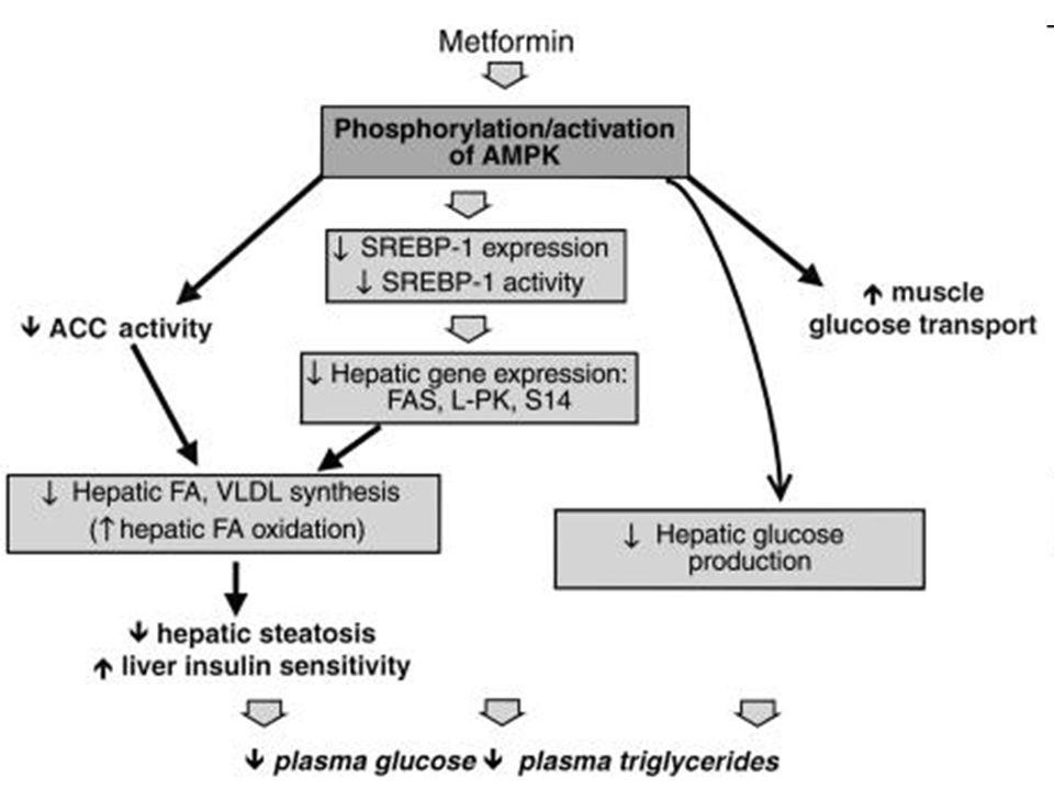 Metformin's beneficial effects on circulating lipids have been linked to reduced fatty liver.