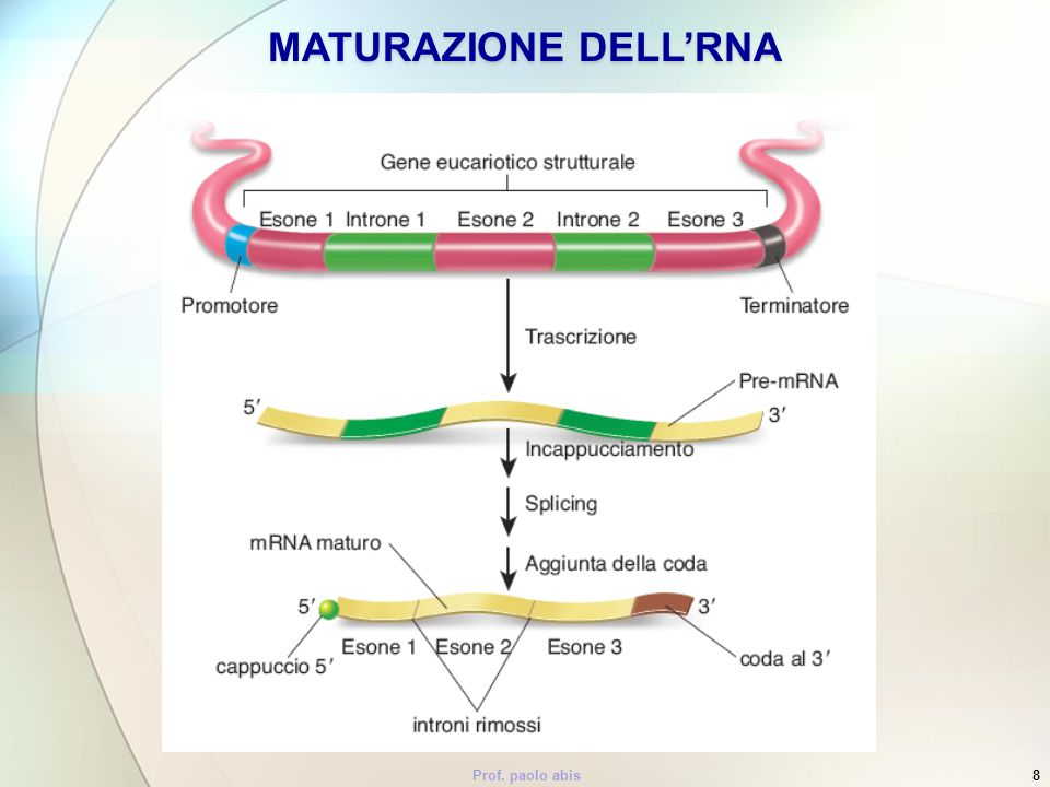 MATURAZIONE DELL'RNA Prof. paolo abis