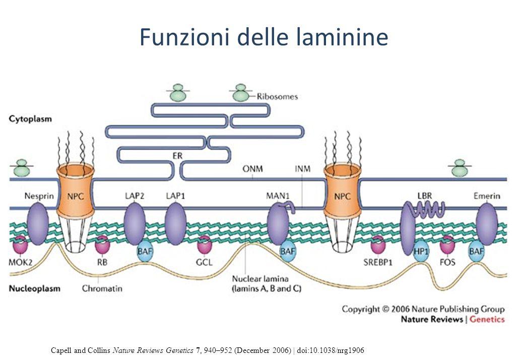Funzioni delle laminine