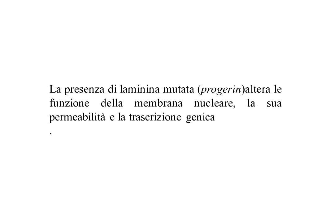 La presenza di laminina mutata (progerin)altera le funzione della membrana nucleare, la sua permeabilità e la trascrizione genica
