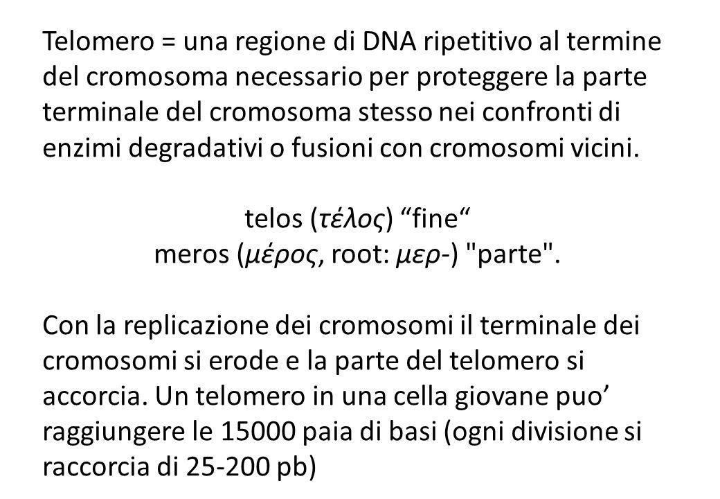 merοs (μέρος, root: μερ-) parte .