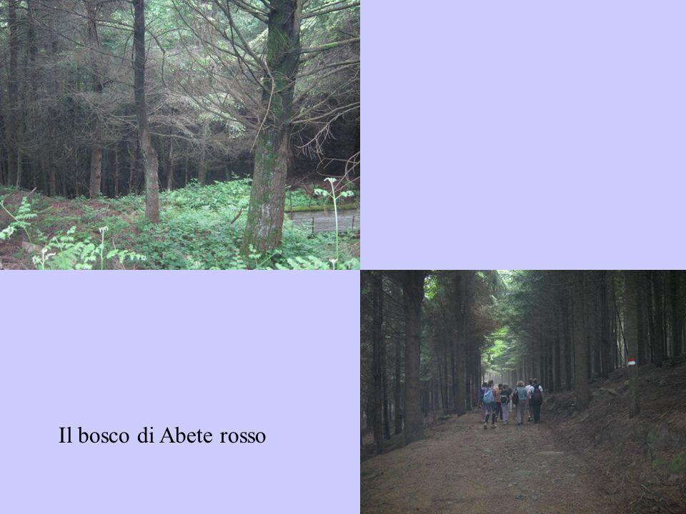 Il bosco di Abete rosso