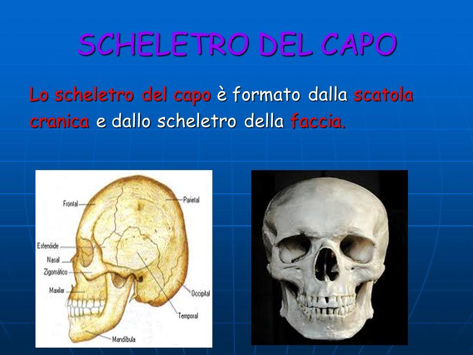 SCHELETRO DEL CAPO Lo scheletro del capo è formato dalla scatola