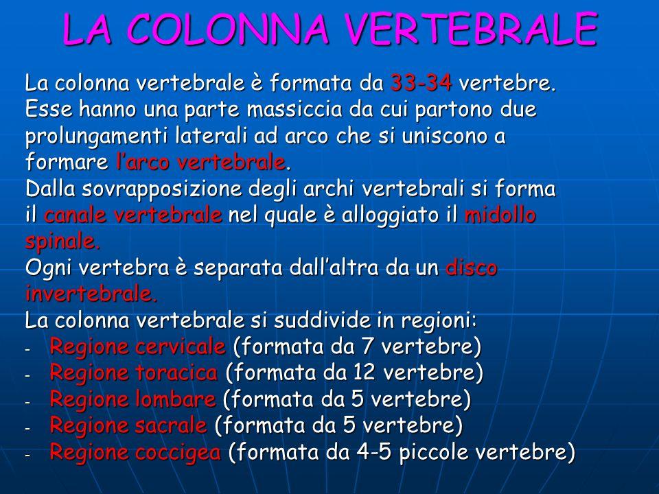 LA COLONNA VERTEBRALE La colonna vertebrale è formata da 33-34 vertebre. Esse hanno una parte massiccia da cui partono due.