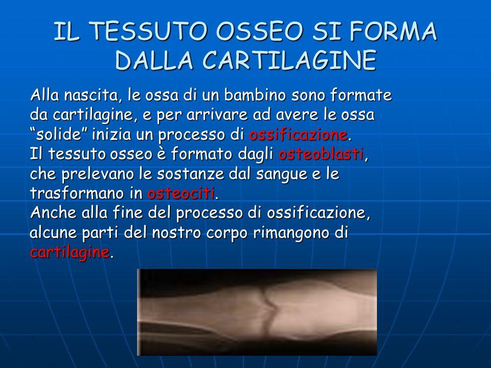 IL TESSUTO OSSEO SI FORMA DALLA CARTILAGINE