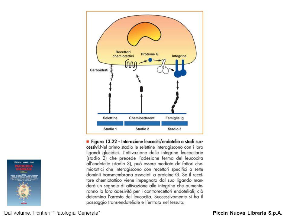 Figura 13.22 - Interazione leucociti/endotelio a stadi successivi.