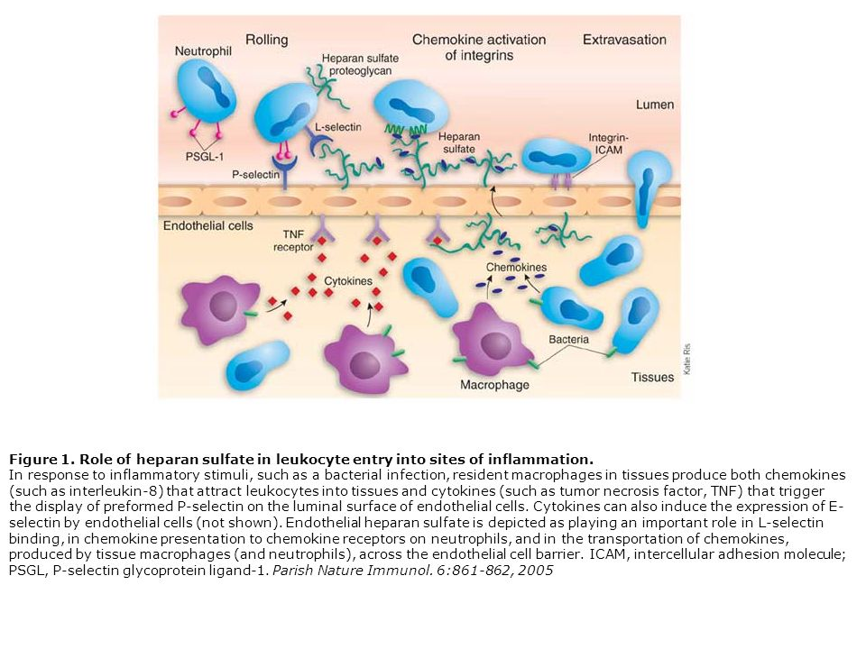 Figure 1. Role of heparan sulfate in leukocyte entry into sites of inflammation.