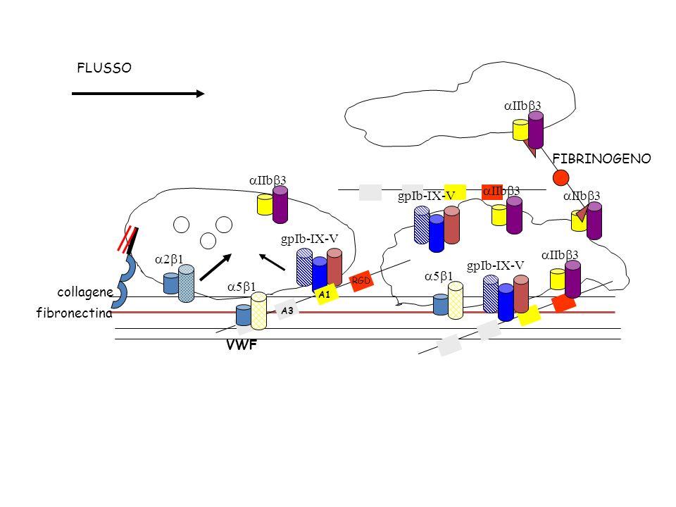 FLUSSO FIBRINOGENO aIIbb3 gpIb-IX-V aIIbb3 a2b1 gpIb-IX-V a5b1 a5b1