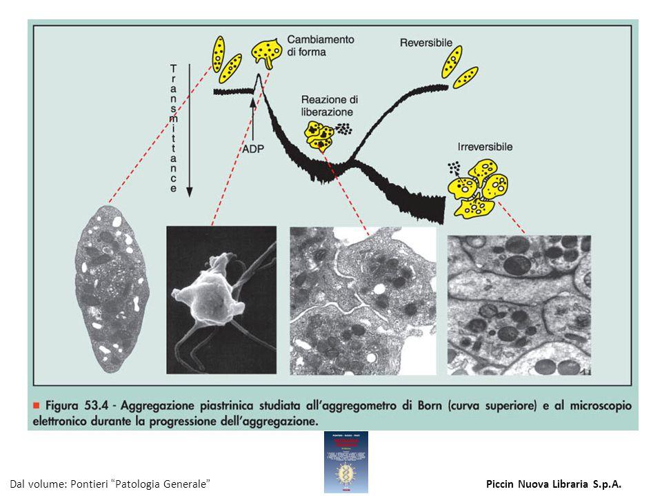 Figura 53.4 - Aggregazione piastrinica studiata all aggregometro di Born (curva superiore) e al microscopio elettronico durante la progressione dell aggregazione.