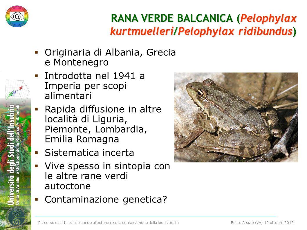RANA VERDE BALCANICA (Pelophylax kurtmuelleri/Pelophylax ridibundus)