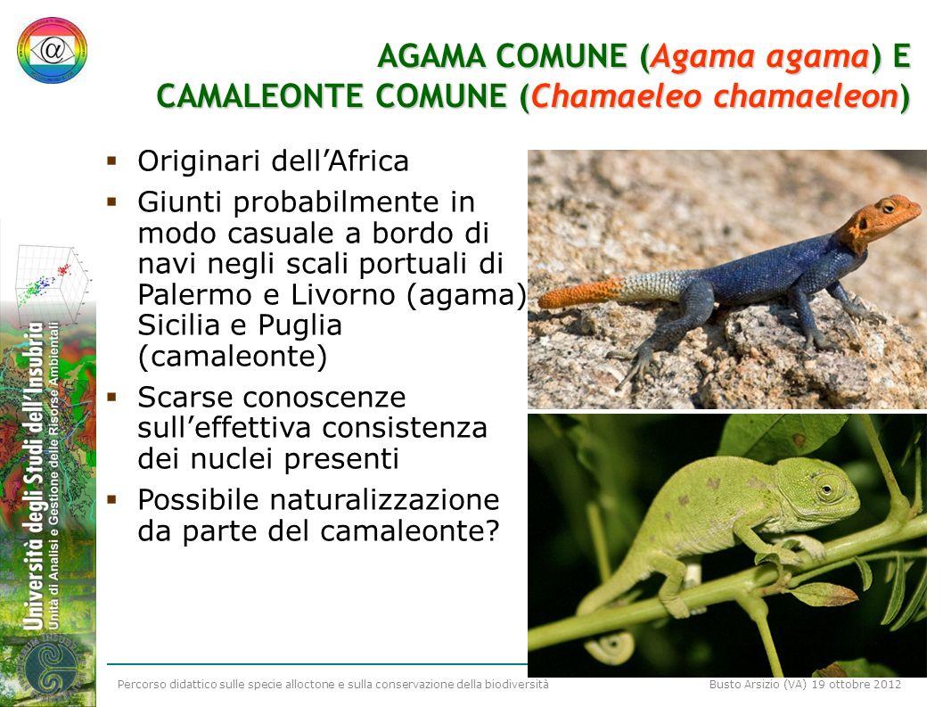 AGAMA COMUNE (Agama agama) E CAMALEONTE COMUNE (Chamaeleo chamaeleon)