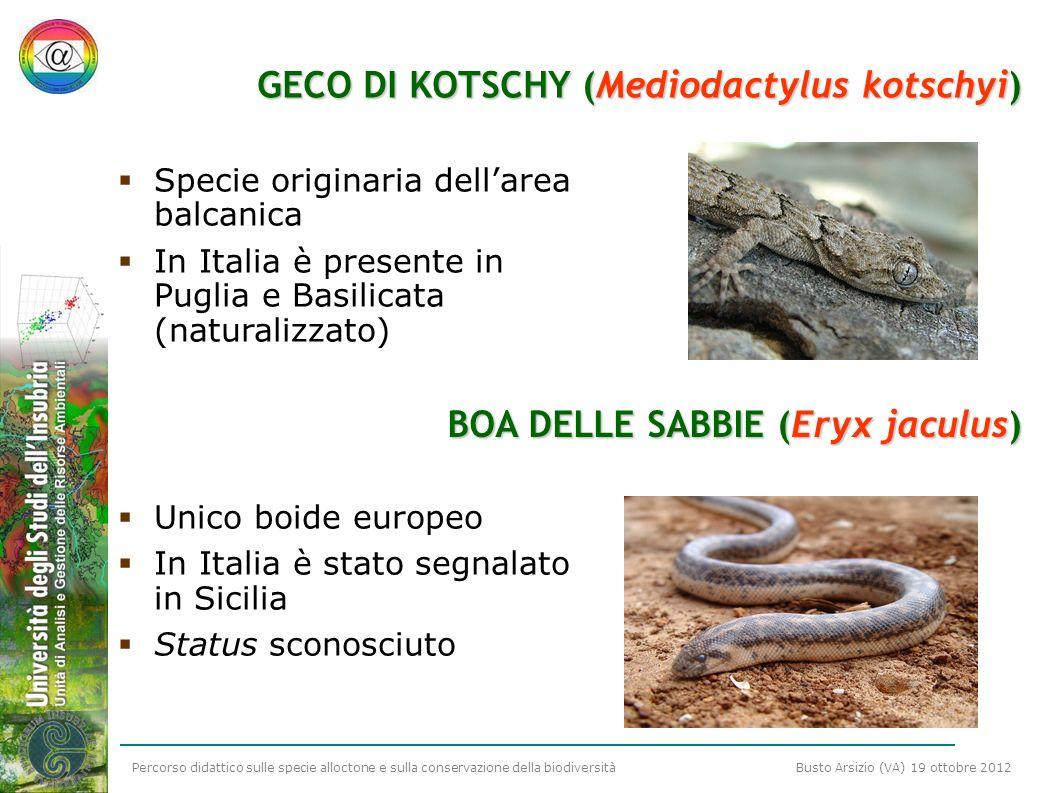 GECO DI KOTSCHY (Mediodactylus kotschyi)