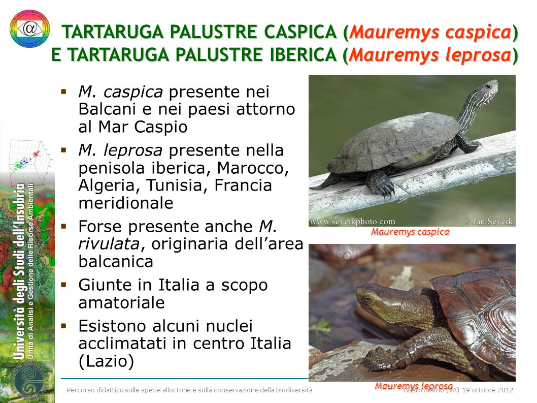 TARTARUGA PALUSTRE CASPICA (Mauremys caspica)