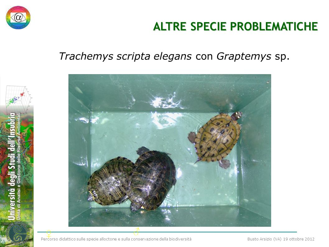 Trachemys scripta elegans con Graptemys sp.