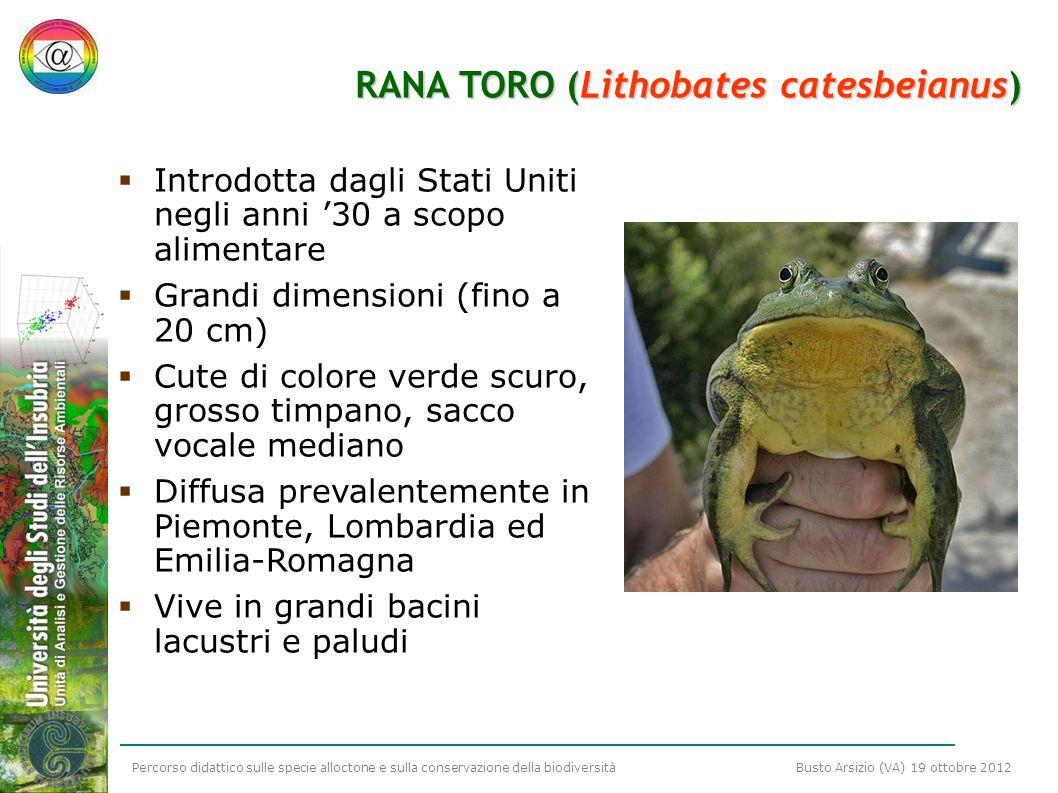 RANA TORO (Lithobates catesbeianus)