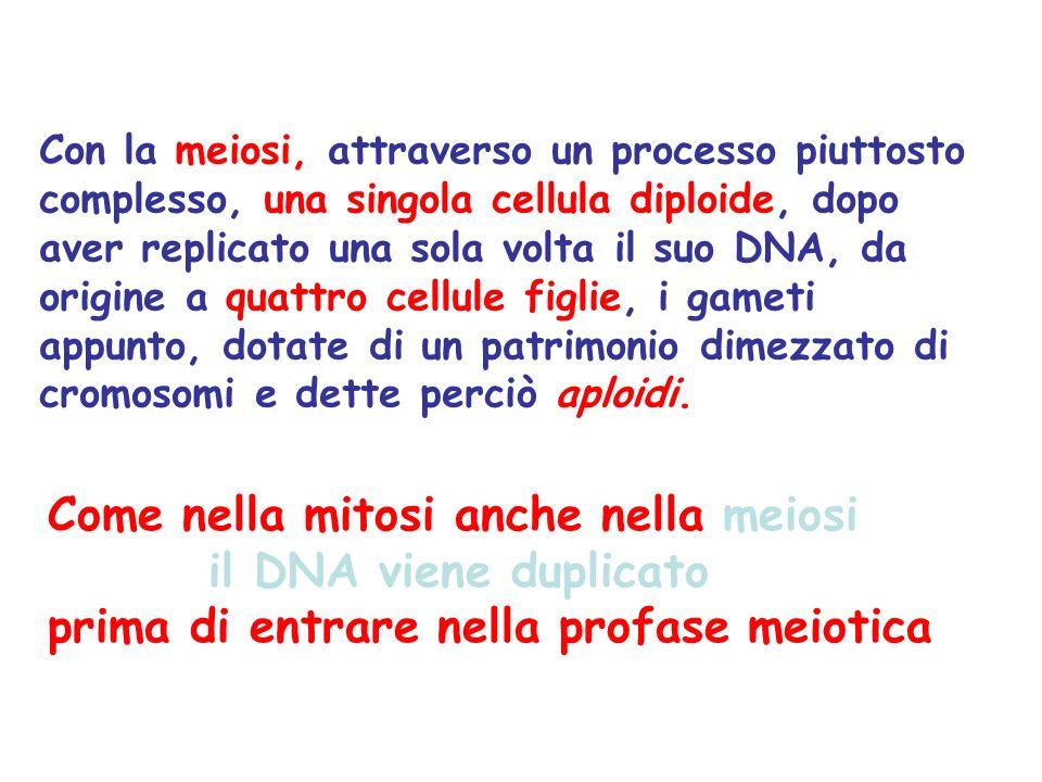 Come nella mitosi anche nella meiosi