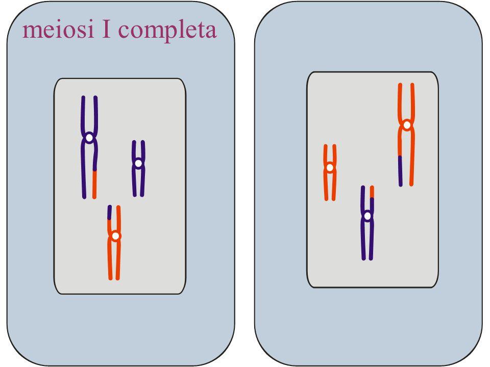 meiosi I completa