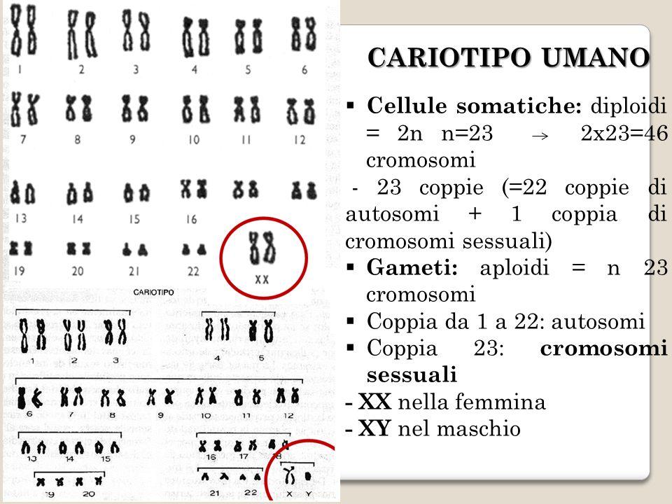 CARIOTIPO UMANO Cellule somatiche: diploidi = 2n n=23 2x23=46 cromosomi. - 23 coppie (=22 coppie di autosomi + 1 coppia di cromosomi sessuali)