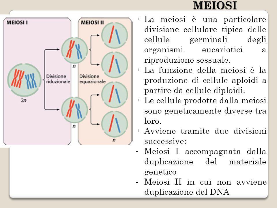 MEIOSI La meiosi è una particolare divisione cellulare tipica delle cellule germinali degli organismi eucariotici a riproduzione sessuale.