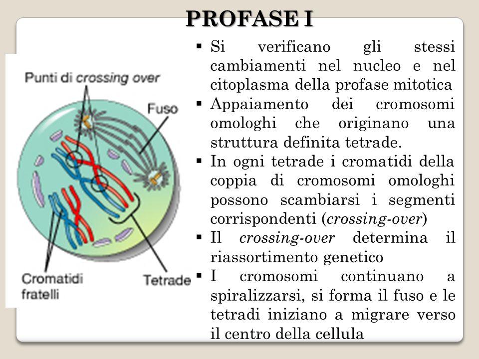 PROFASE I Si verificano gli stessi cambiamenti nel nucleo e nel citoplasma della profase mitotica.