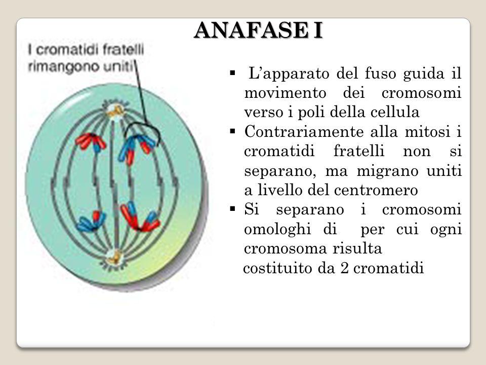 ANAFASE I L'apparato del fuso guida il movimento dei cromosomi verso i poli della cellula.