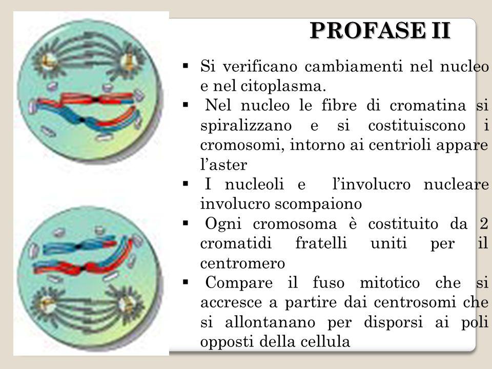 PROFASE II Si verificano cambiamenti nel nucleo e nel citoplasma.