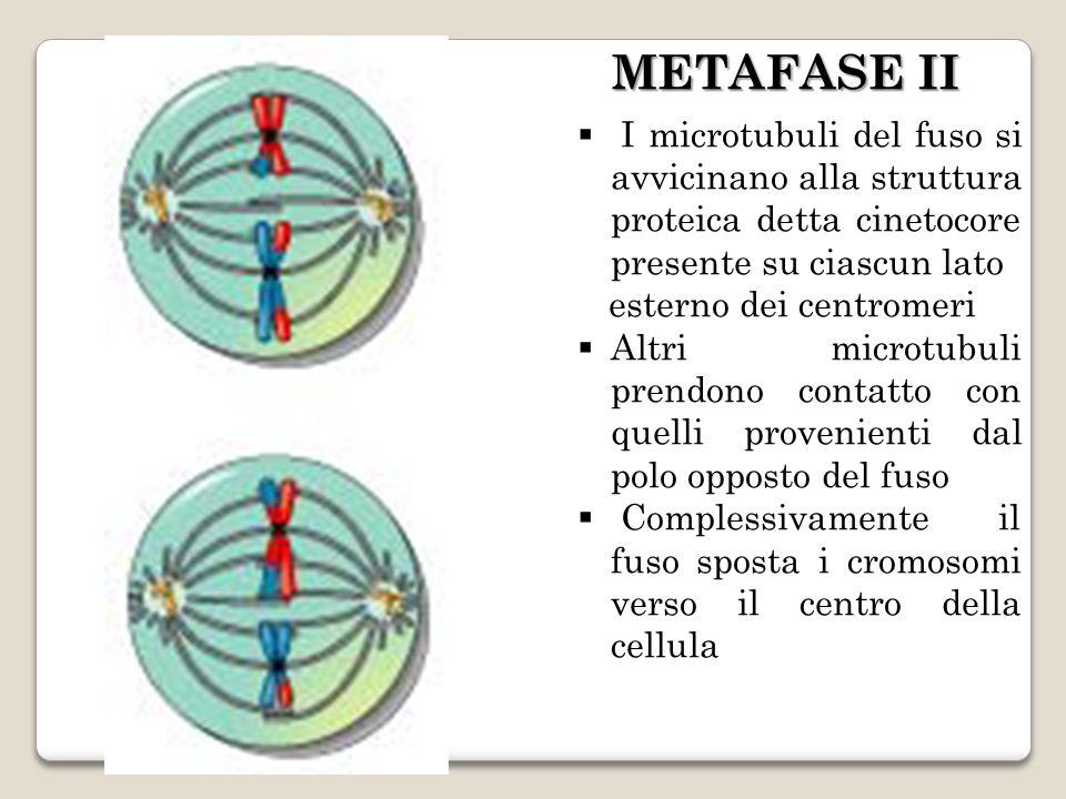 METAFASE II I microtubuli del fuso si avvicinano alla struttura proteica detta cinetocore presente su ciascun lato.