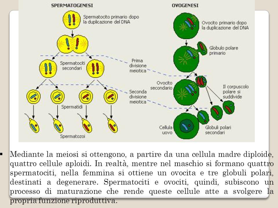 Mediante la meiosi si ottengono, a partire da una cellula madre diploide, quattro cellule aploidi.