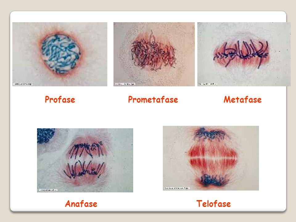 Profase Prometafase Metafase