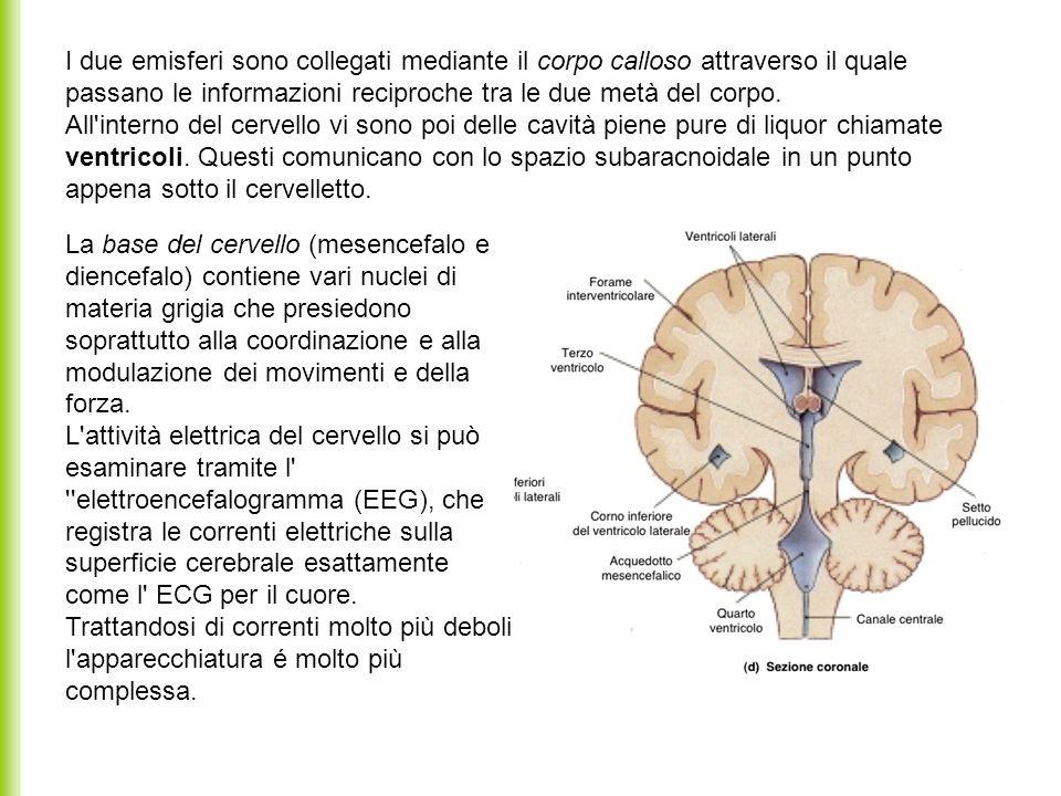 I due emisferi sono collegati mediante il corpo calloso attraverso il quale passano le informazioni reciproche tra le due metà del corpo. All interno del cervello vi sono poi delle cavità piene pure di liquor chiamate ventricoli. Questi comunicano con lo spazio subaracnoidale in un punto appena sotto il cervelletto.