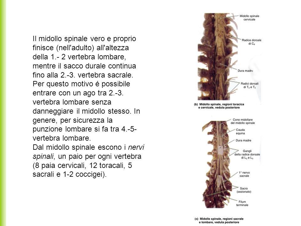 Il midollo spinale vero e proprio finisce (nell adulto) all altezza della 1.- 2 vertebra lombare, mentre il sacco durale continua fino alla 2.-3.