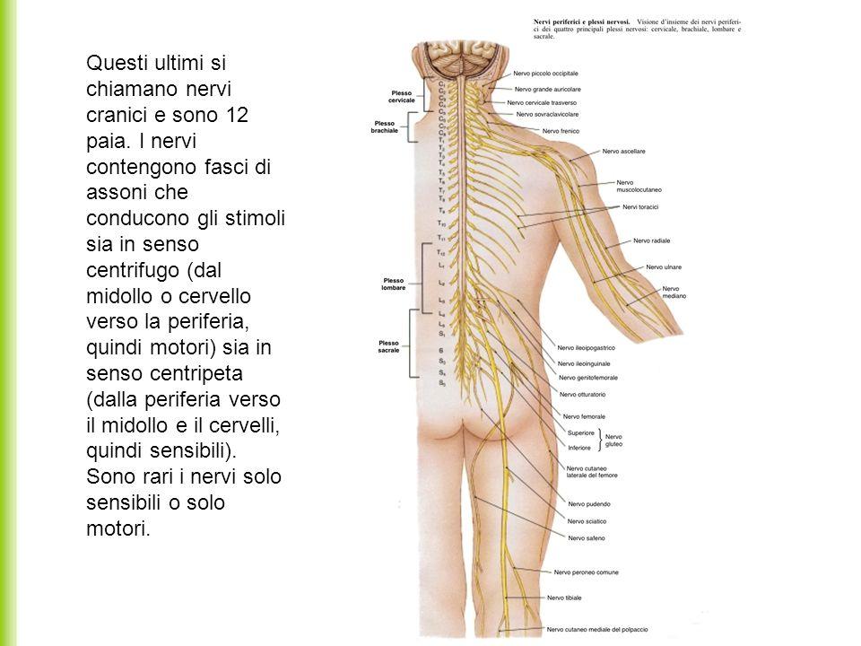 Questi ultimi si chiamano nervi cranici e sono 12 paia