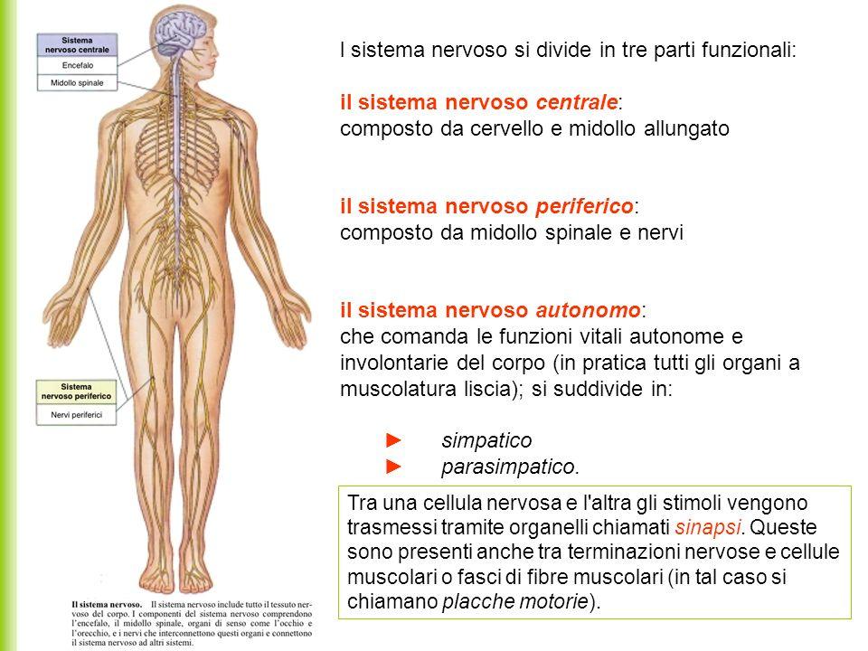 l sistema nervoso si divide in tre parti funzionali: