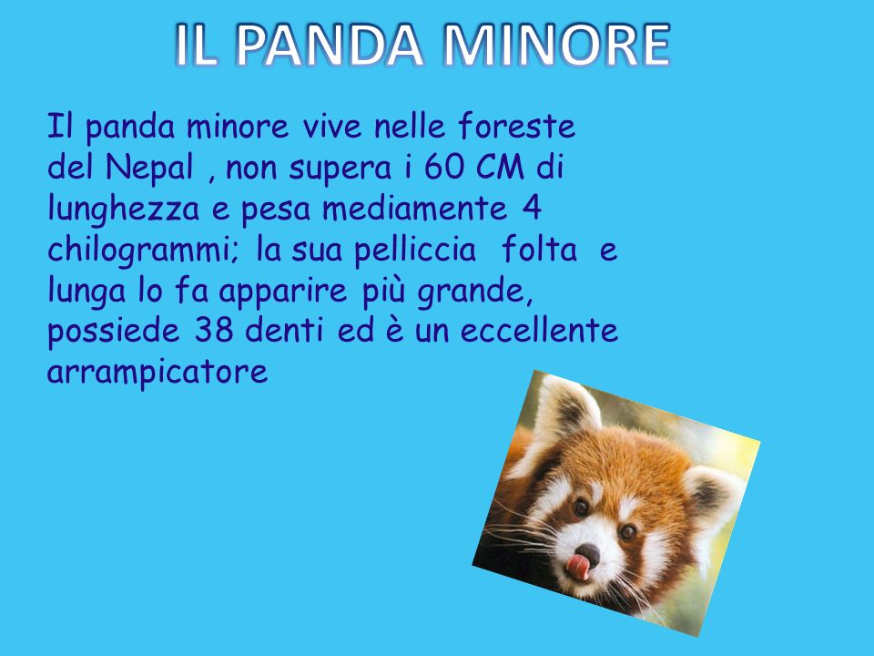 IL PANDA MINORE