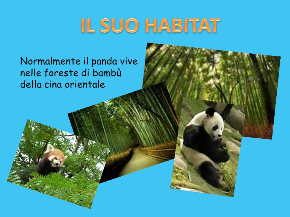 IL SUO HABITAT Normalmente il panda vive nelle foreste di bambù della cina orientale