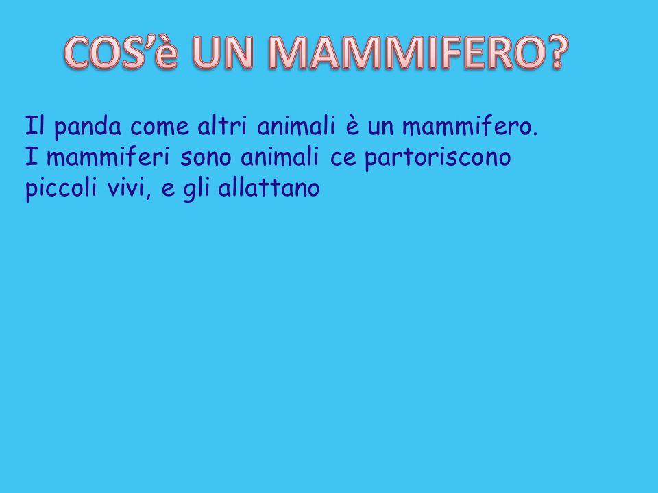 COS'è UN MAMMIFERO Il panda come altri animali è un mammifero.