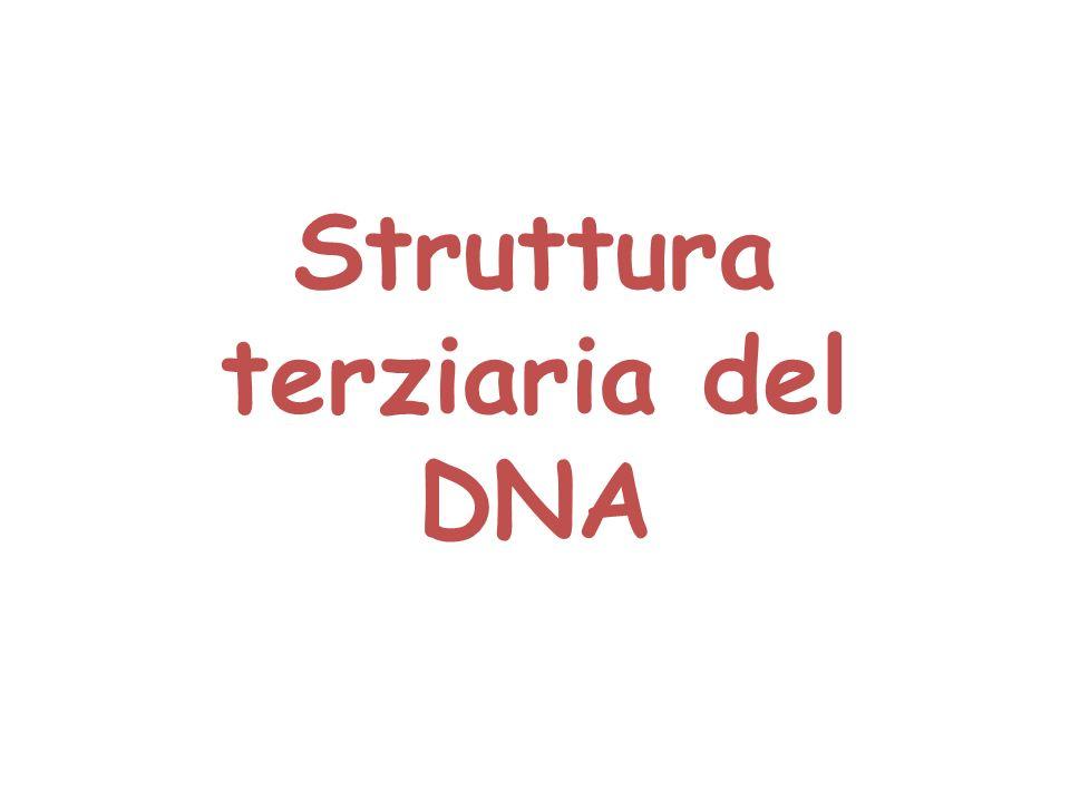 Struttura terziaria del DNA