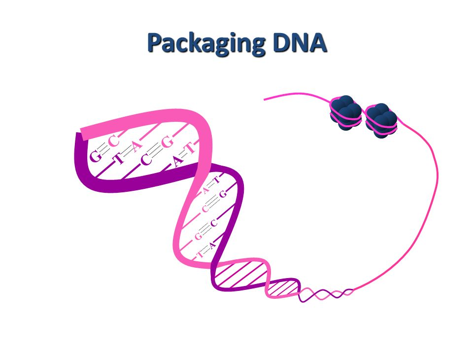 Packaging DNA A T T A G C C G C G G C T A A T 10
