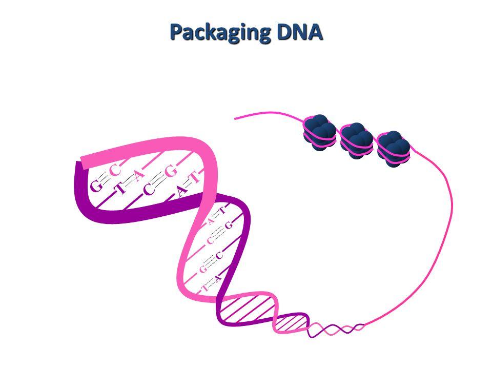 Packaging DNA A T T A G C C G C G G C T A A T 11