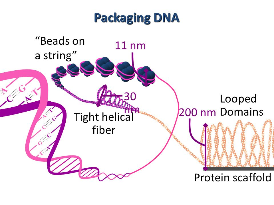 Packaging DNA Beads on a string 11 nm 30 nm Looped Domains 200 nm