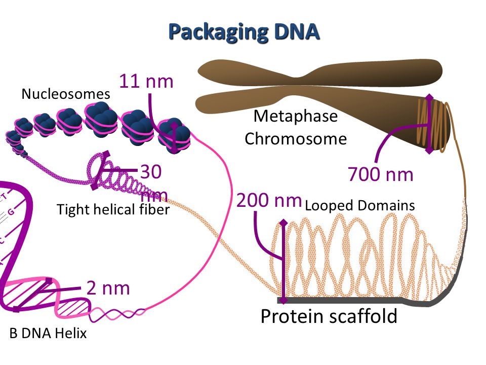 Packaging DNA 11 nm 30 nm 200 nm 2 nm 700 nm Protein scaffold