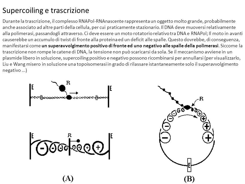 Supercoiling e trascrizione