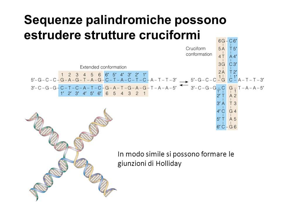 Sequenze palindromiche possono estrudere strutture cruciformi