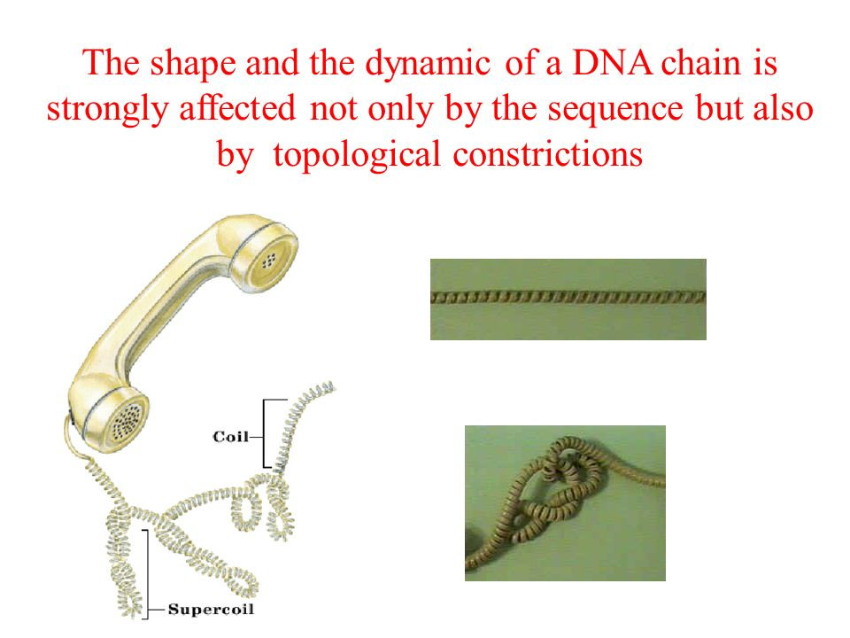 The shape and the dynamic of a DNA chain is strongly affected not only by the sequence but also by topological constrictions