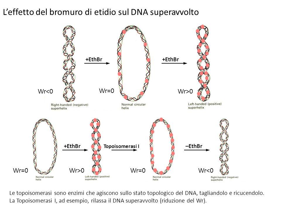 L'effetto del bromuro di etidio sul DNA superavvolto