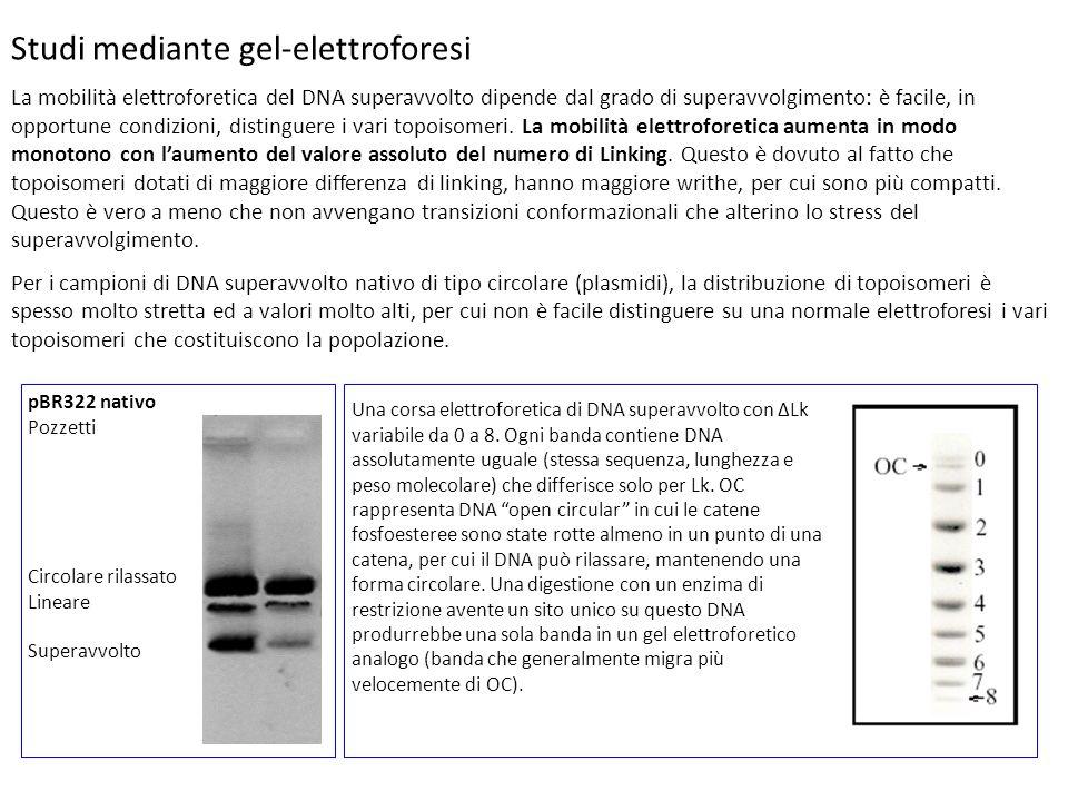 Studi mediante gel-elettroforesi