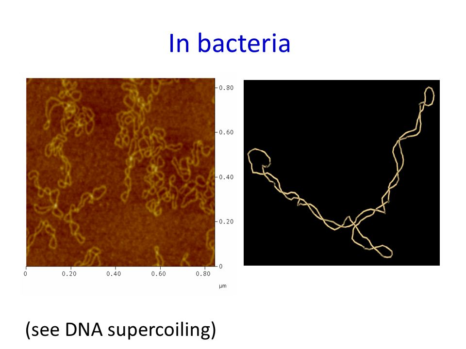 In bacteria (see DNA supercoiling)