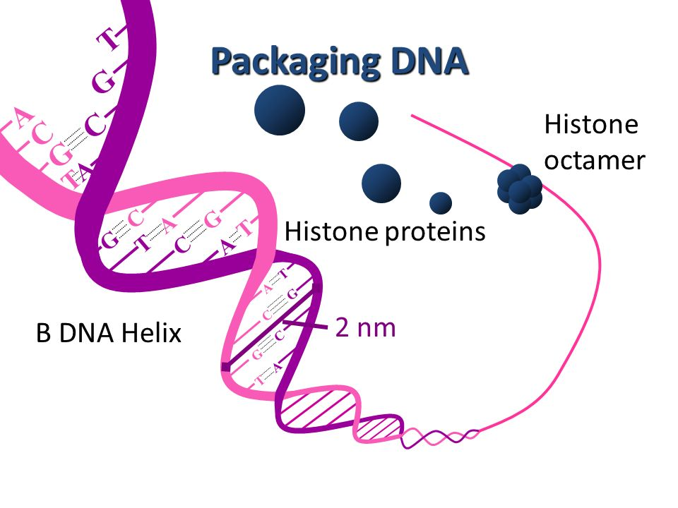 Packaging DNA T G A Histone C octamer Histone proteins 2 nm